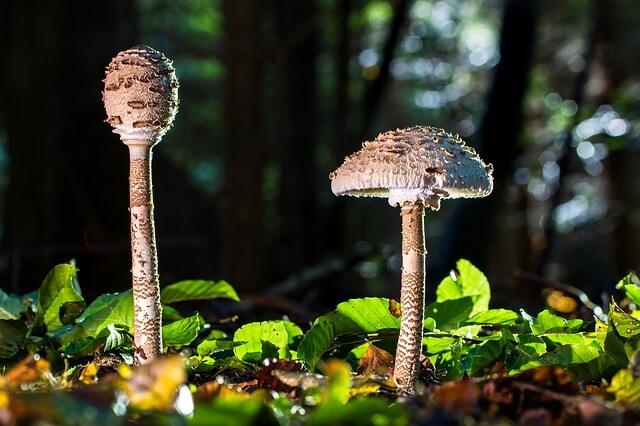 Pilze welche ideal mit einem Pilzmesser abgeschnitten werden können.